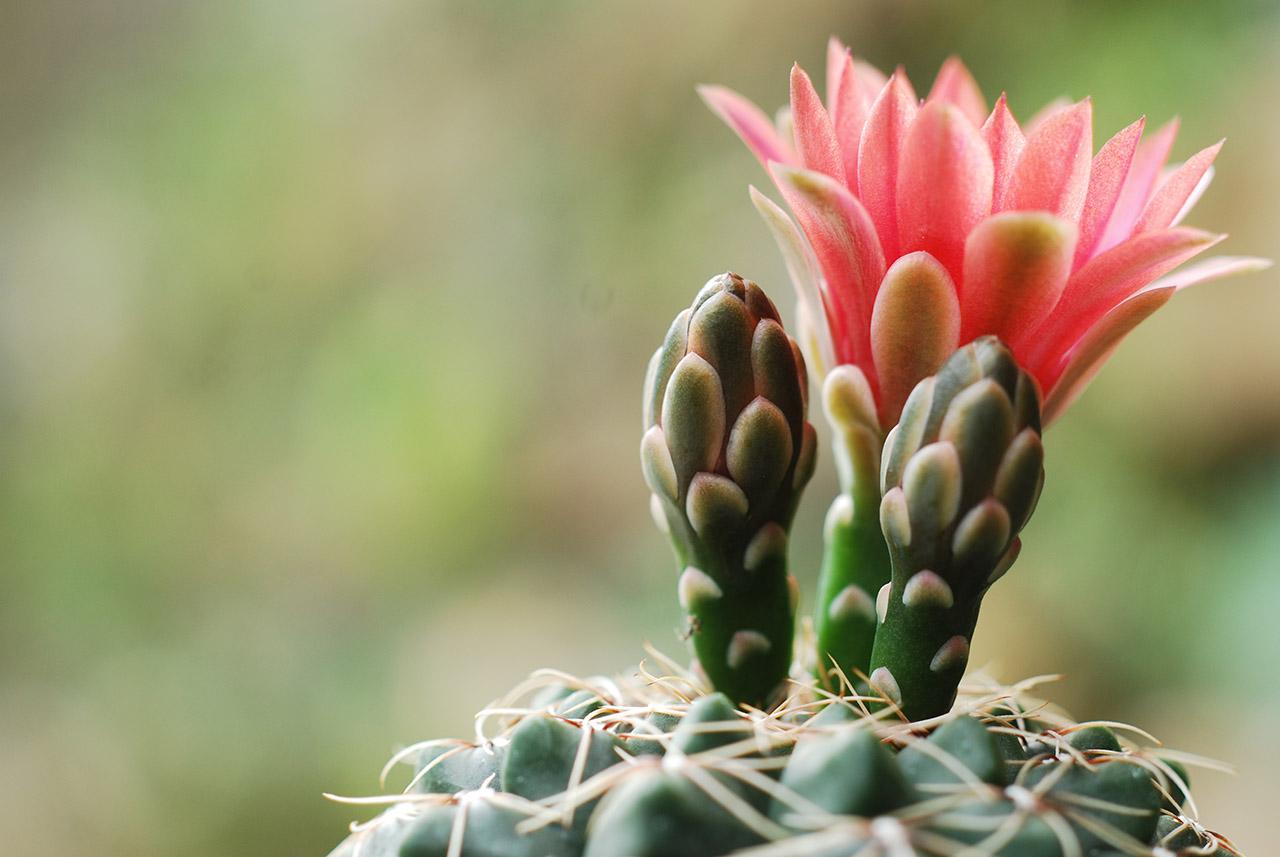 緋花玉盆栽與開花