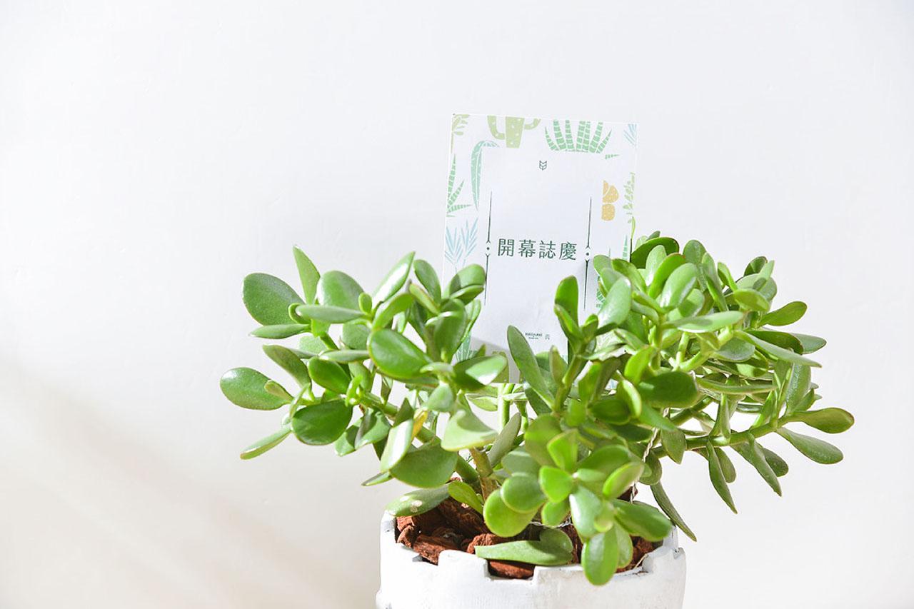 發財樹 – 大城堡盆栽 9