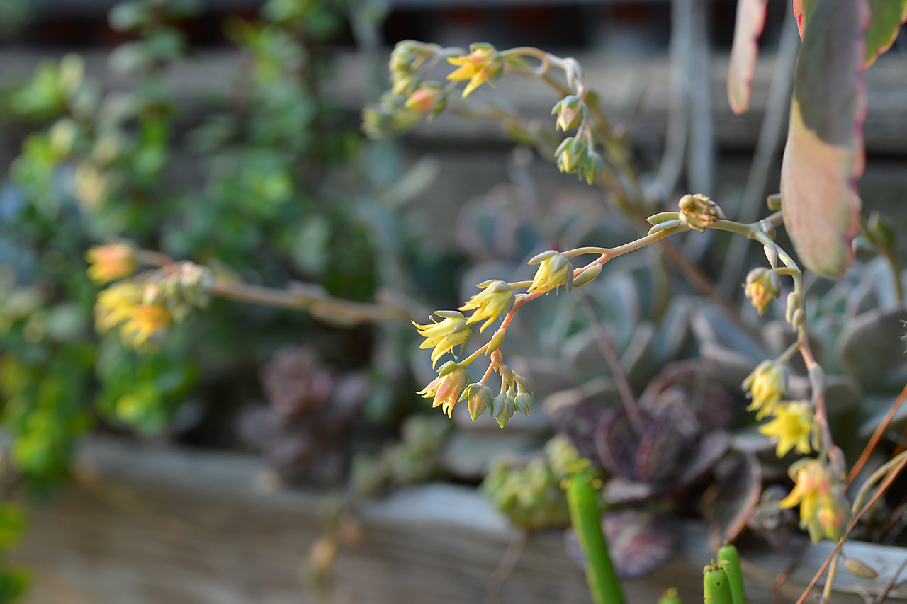 粉紅佳人的黃色小花
