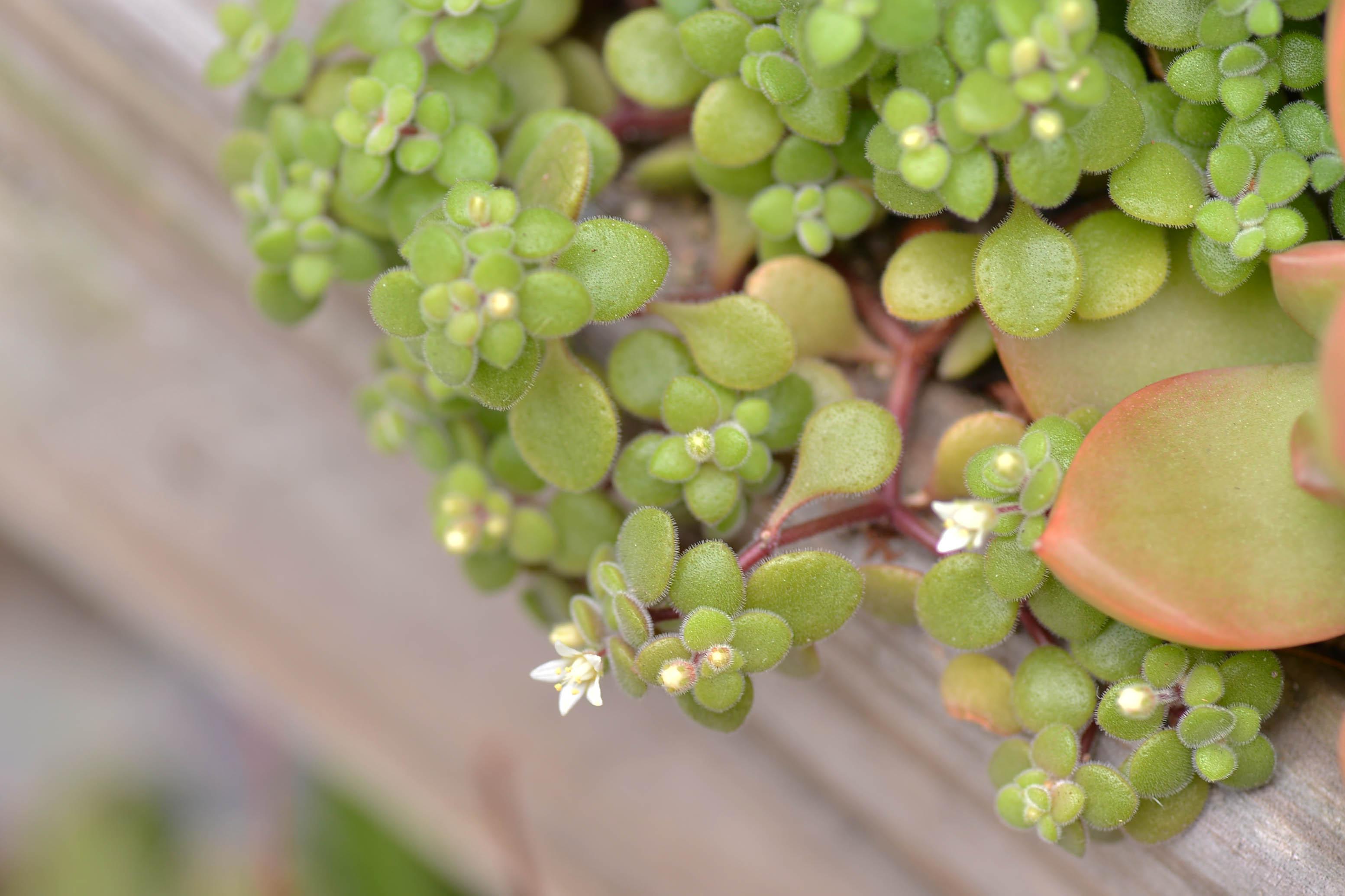 多肉波尼亞開花