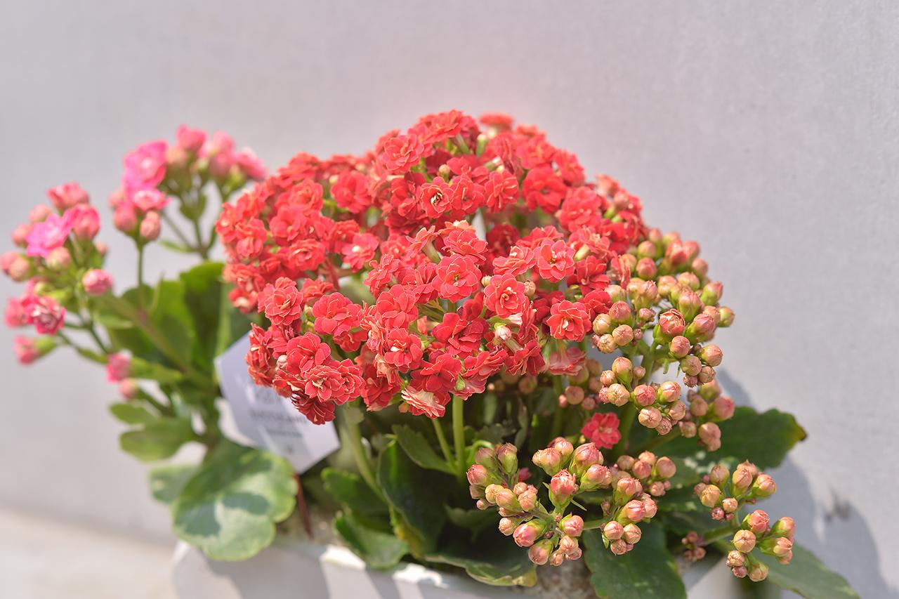 長壽花盆栽 - 禮物寶盒 5