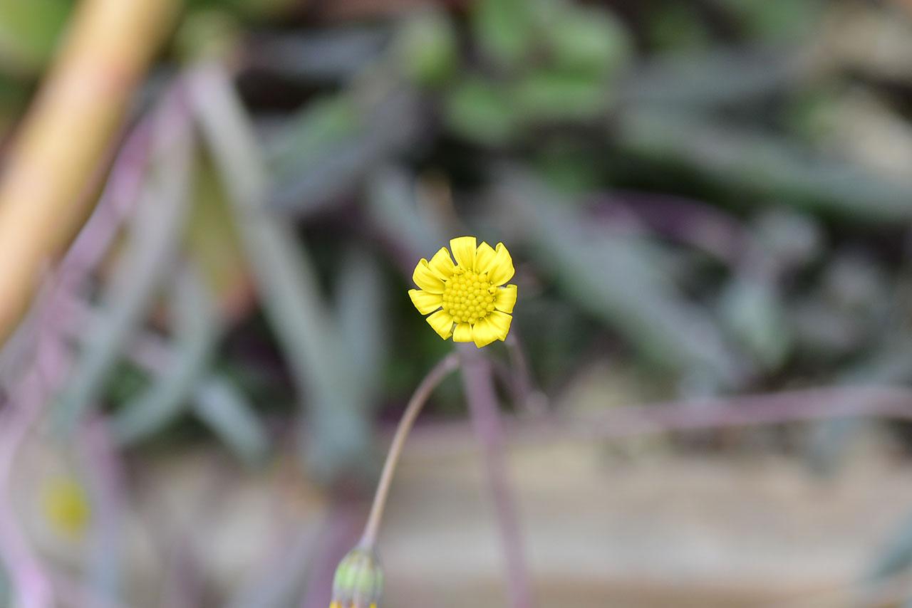 多肉黃花新月開花