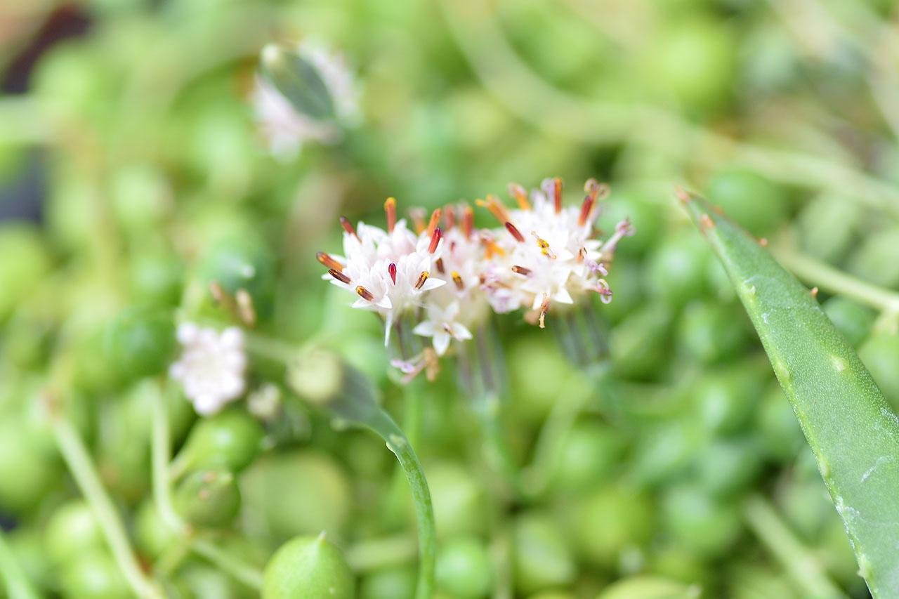 綠之鈴多肉植物開花