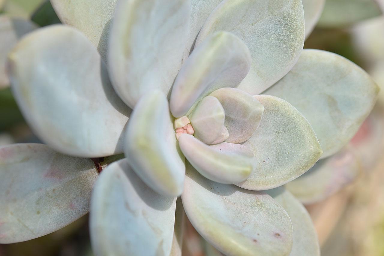 可食用的多肉植物:東美人 石蓮花 DSC 8804