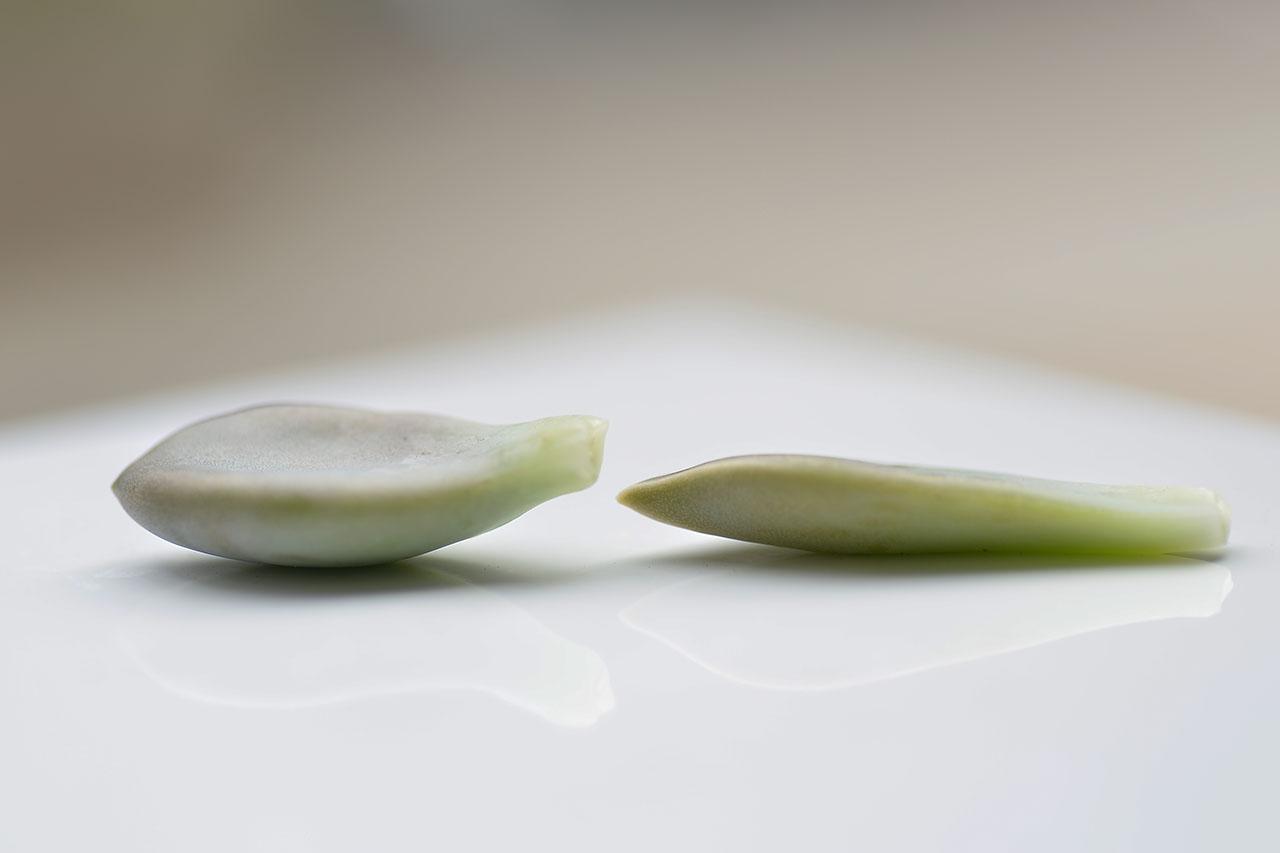 兩種 食用 石蓮花 朧月與冬美人 從葉片的厚度去分辨
