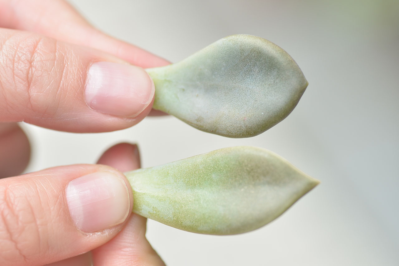 兩種 食用 石蓮花 朧月與冬美人 從葉片的葉片形狀去分辨