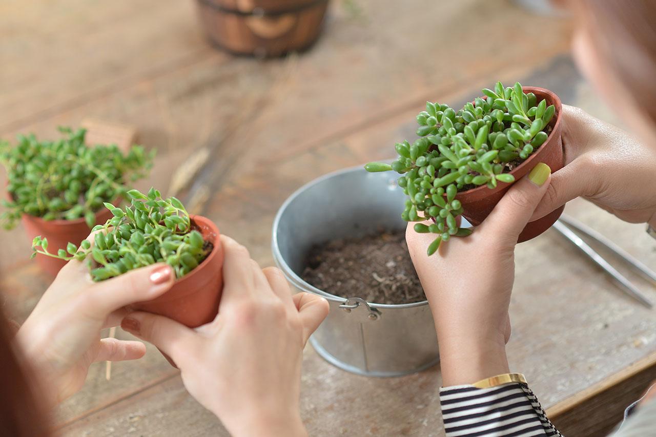 組盆教學中也會告訴你該如何照顧多肉植物、多肉植物換盆的技巧,讓你對多肉植物有更多的認識