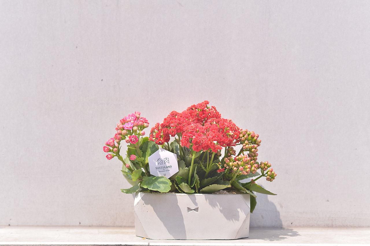 長壽花盆栽 - 禮物寶盒 2
