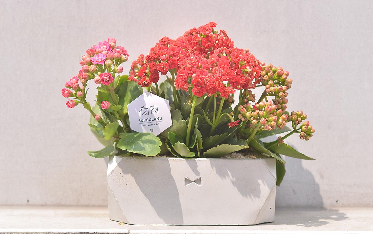 陽光下的長壽花盆栽,長壽花也是一種多肉植物,養護上要注意他的土壤不可以積水喔!