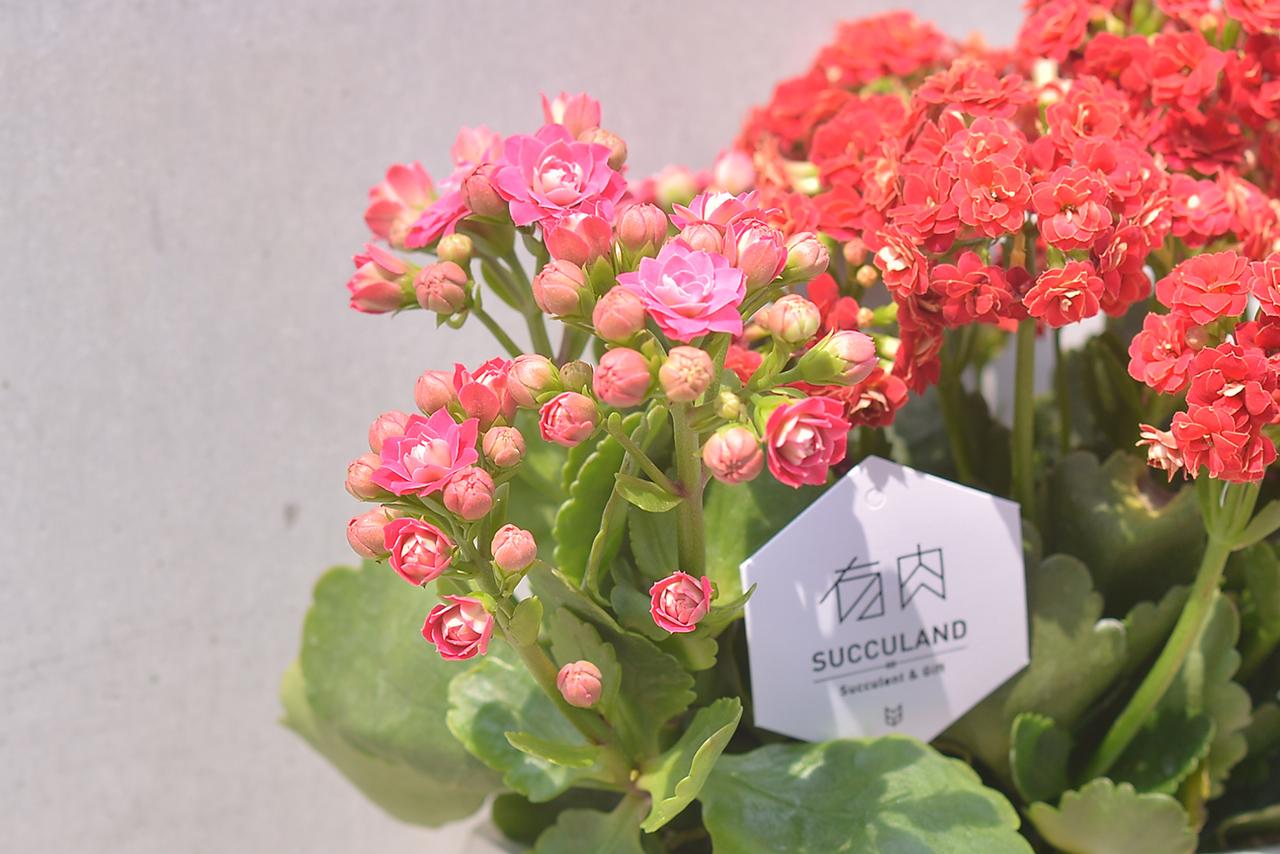 長壽花盆栽 - 禮物寶盒 3