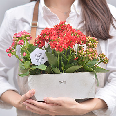 長壽花盆栽,是相當得體的祝福賀禮盆栽,搭配台灣設計師的水泥盆氣,藝術感的花禮就是了