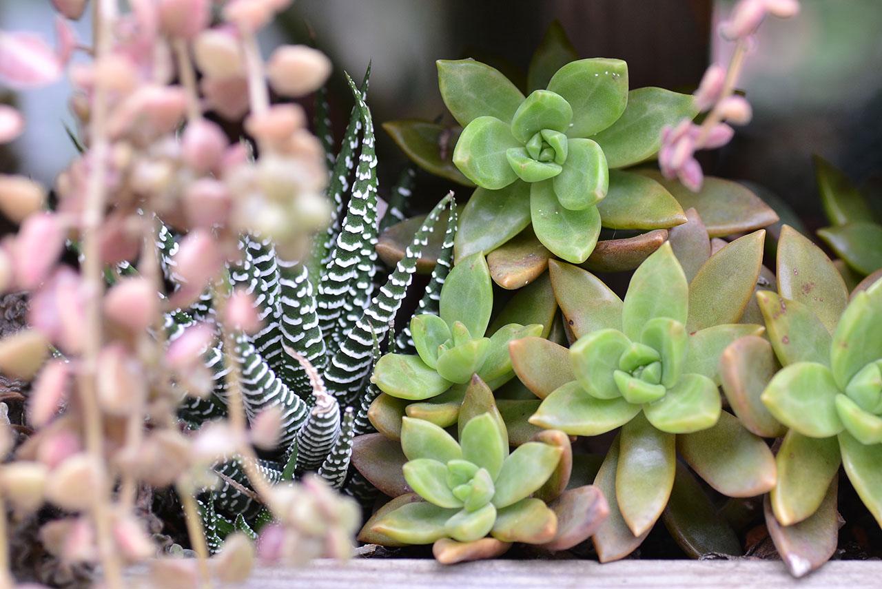 外型奇特的多肉植物 (1):十二之卷 DSC 0047