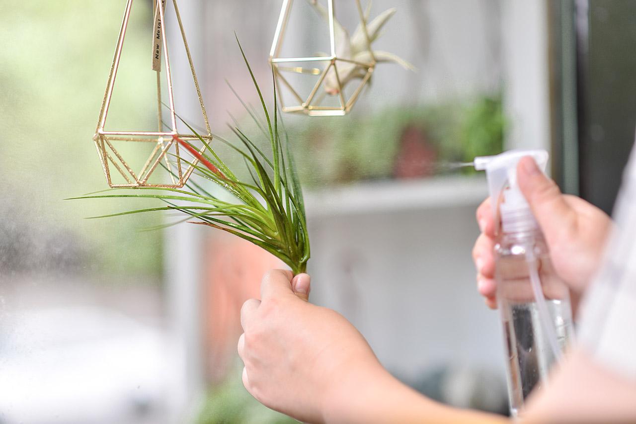 空氣鳳梨灑水器照顧