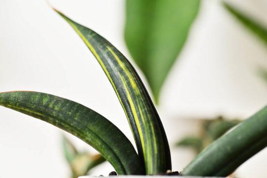 虎尾蘭是多肉植物嗎?教你照顧他