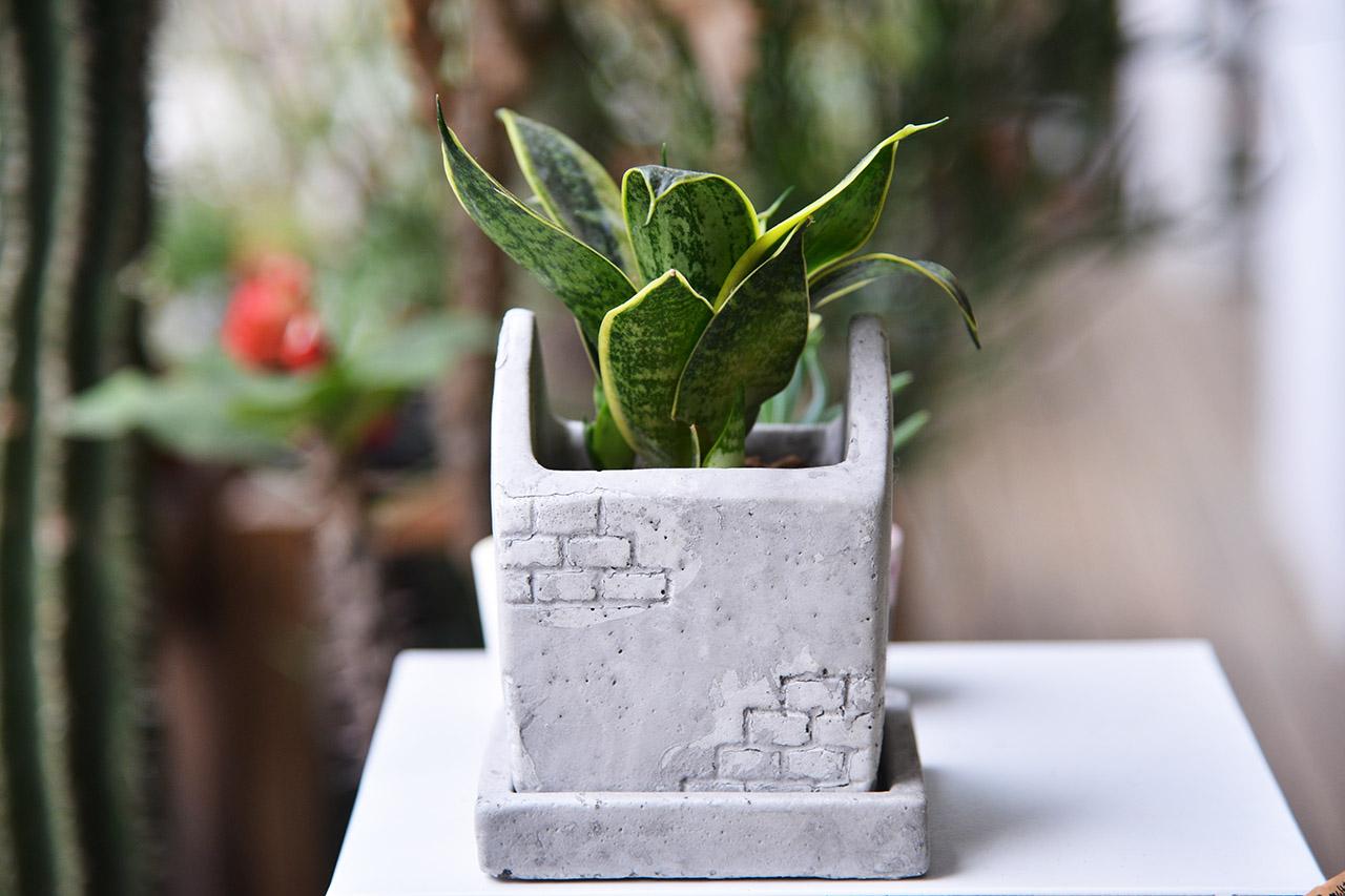 虎尾蘭對於肥料的要求不高,可以半年施薄肥即可,此為三寸虎尾蘭種植於水泥盆,風格簡樸