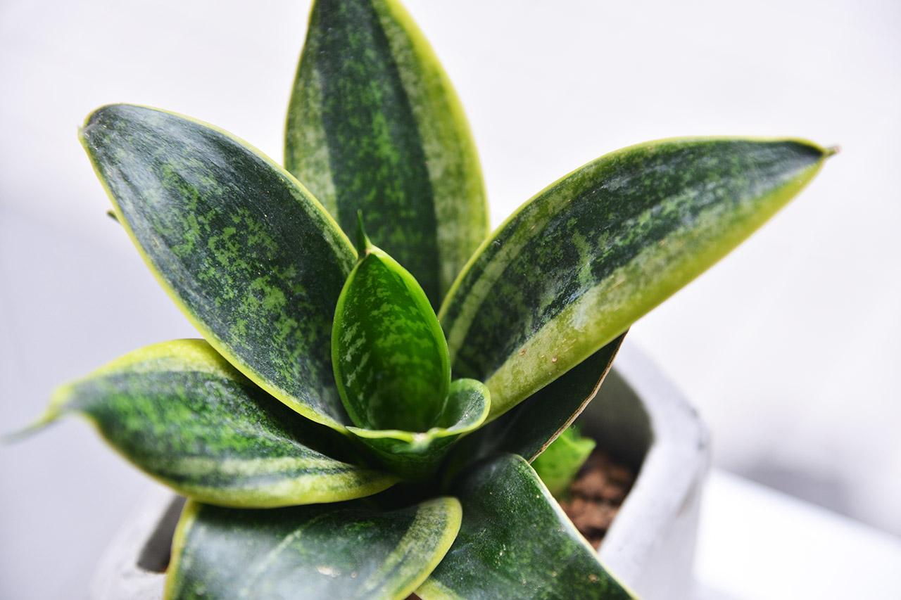 虎尾蘭的土壤選擇建議是鬆質的土壤,可以增加透氣性,此為虎尾蘭種植於水泥盆中