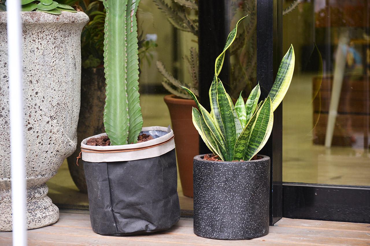 虎尾蘭換盆的頻率不需要太高,是很好照顧的室內盆栽,所以相當適合當禮物送人