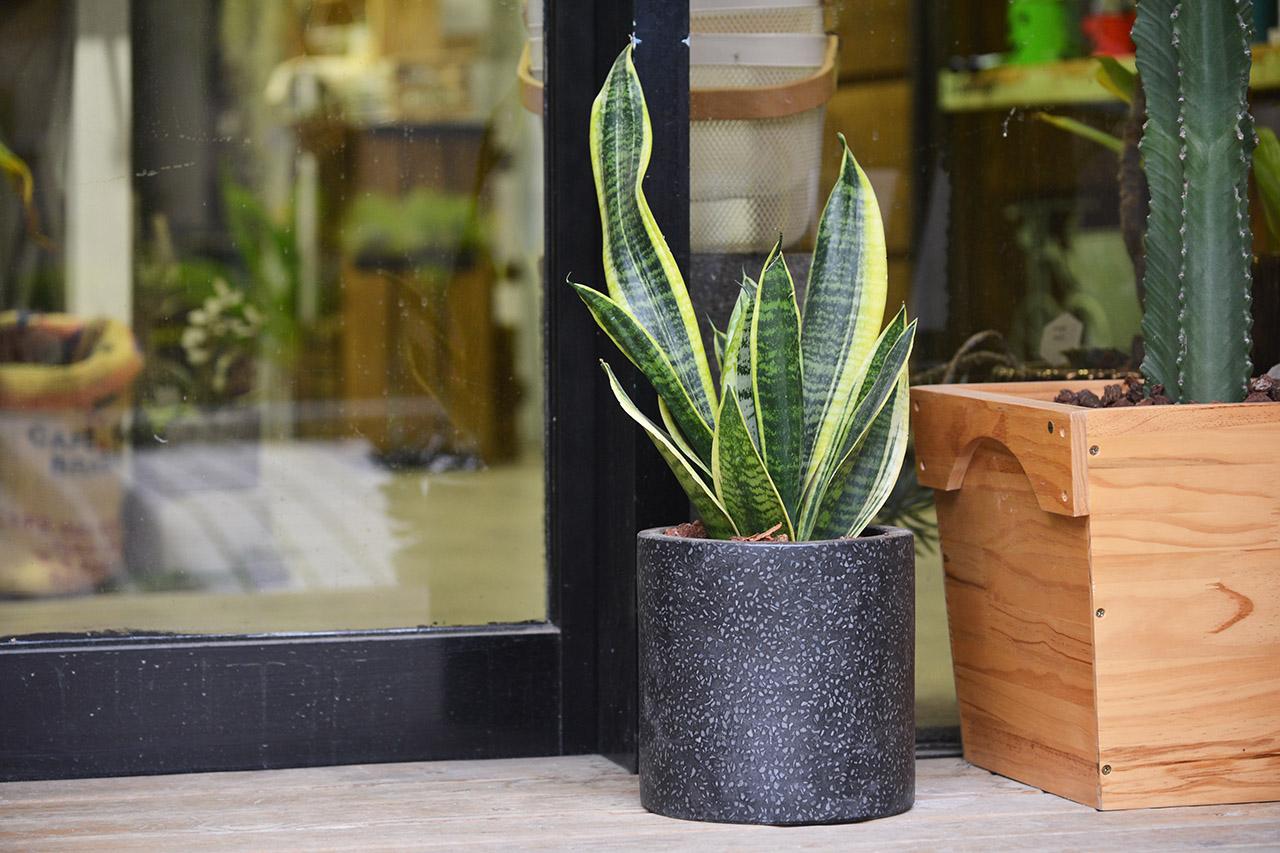 虎尾蘭是一種很好照顧的多肉植物,通常價格也不貴,但是空氣淨化的能力卻很好,擺放在室內也很能裝飾空間