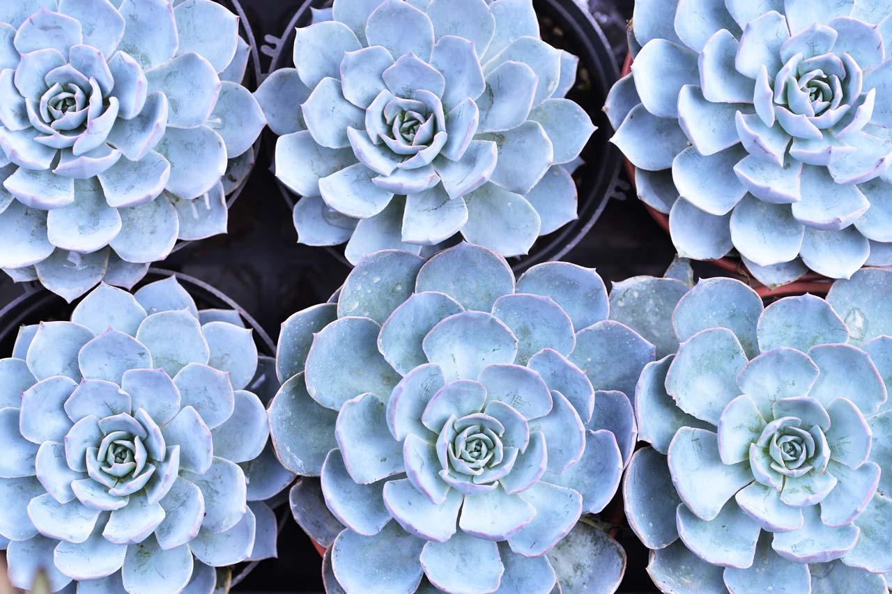 藍色系多肉植物