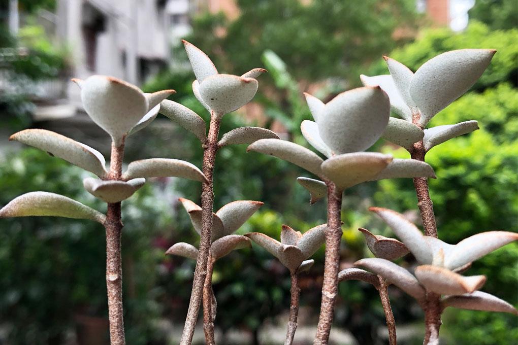銀之太鼓葉孵/葉插繁殖兩週年