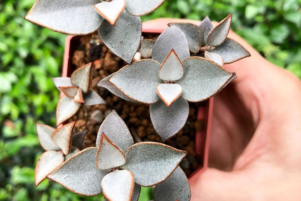 銀之太鼓葉孵/葉插繁殖兩週年 2