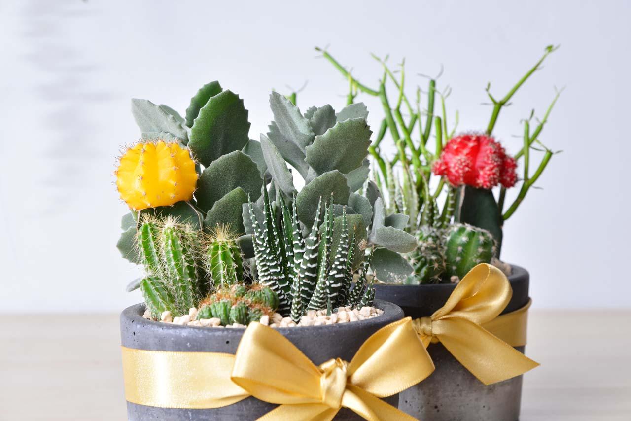 緋牡丹錦, 十二之卷, 千兔耳, 綠珊瑚 多肉植物 開幕送禮