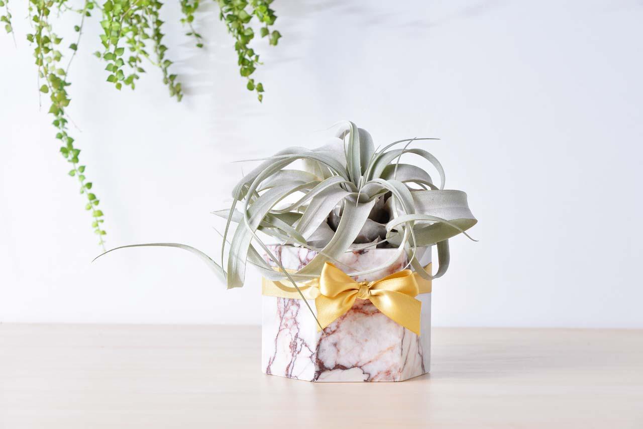 空氣鳳梨盆栽搭配緞帶,是一個很體面的開幕禮物