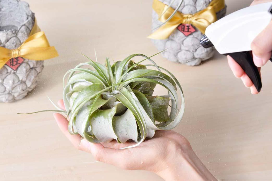 照顧空氣鳳梨的方式是定期噴水,維持濕潤度