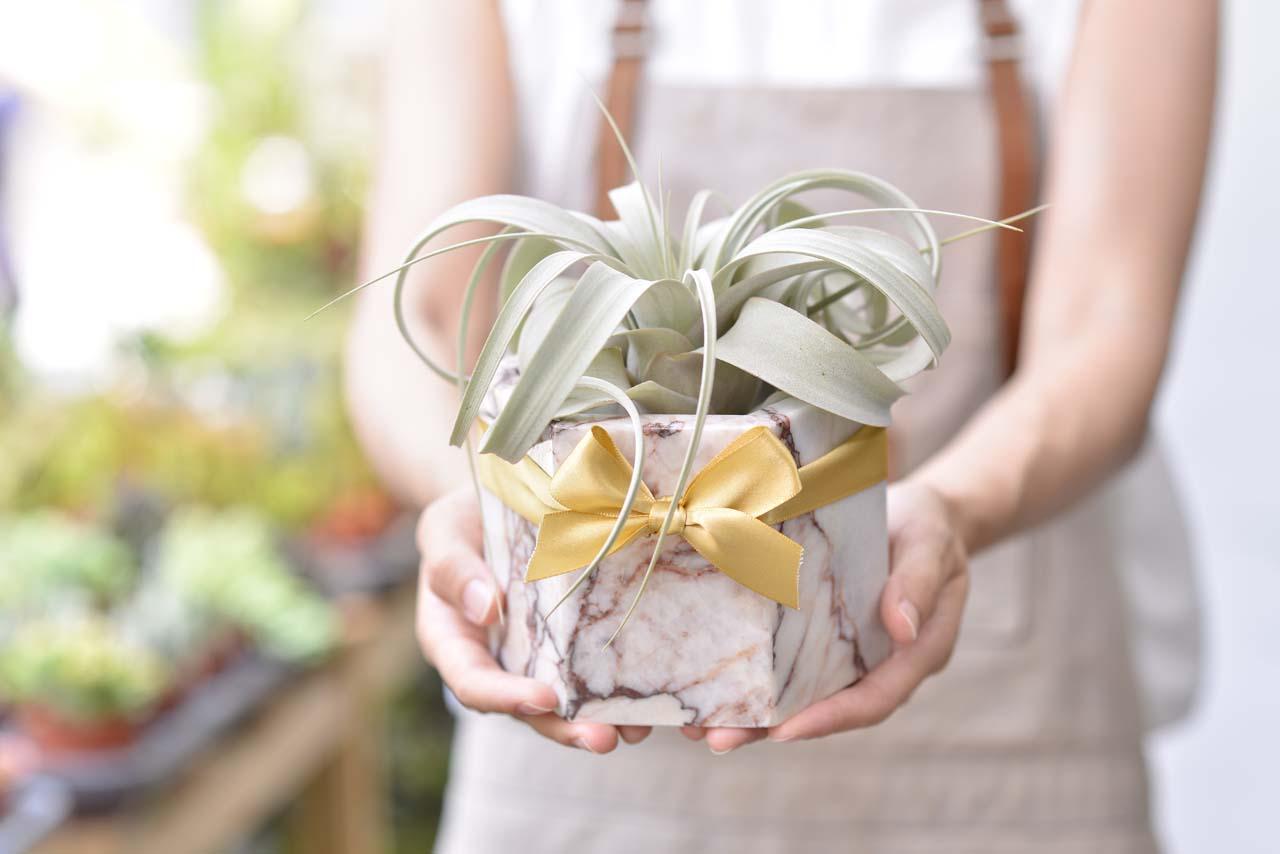 空氣鳳梨盆栽要好好的帶回家照顧喔