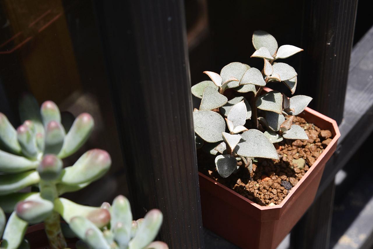 銀之太鼓葉孵/葉插繁殖兩週年 CYS8412
