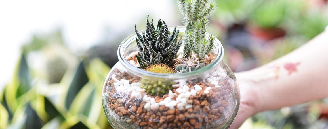 斑馬鷹爪, 仙人樹, 金洋丸廢物利用 DIY 盆栽 種植 多肉植物