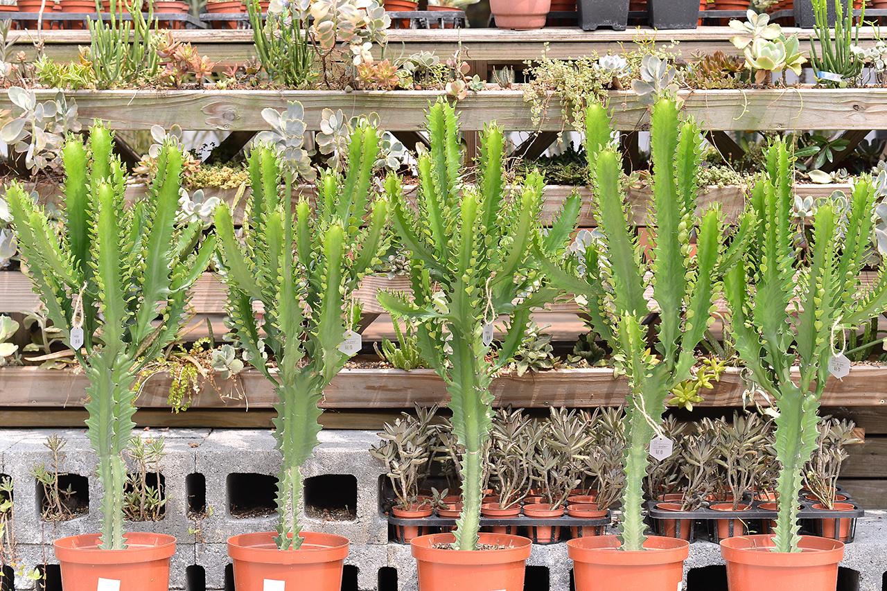 龍骨 大戟科多肉 綠色大型植物