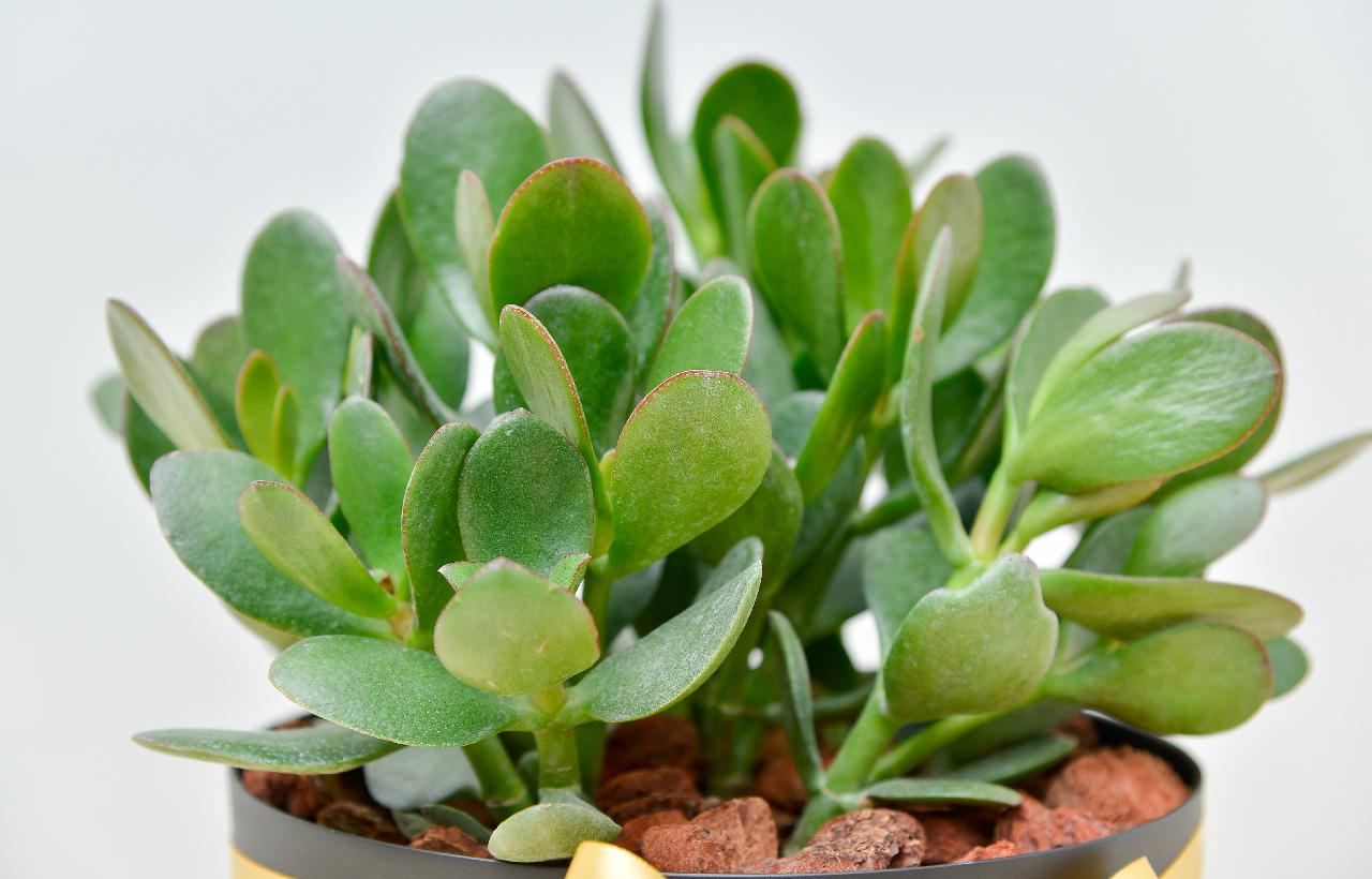 精選多肉植物-發財樹,讓你的盆栽禮物完全不失禮節