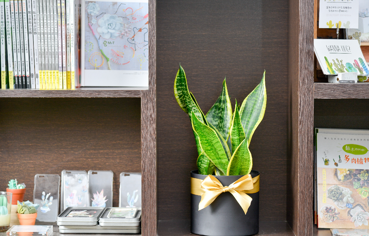 虎尾蘭質感盆栽,適合開幕送禮,有淨化空氣的功效