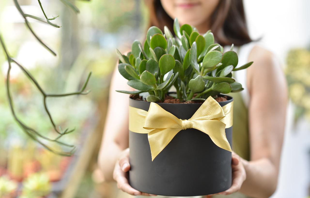 發財樹盆栽是非常棒的桌上盆栽