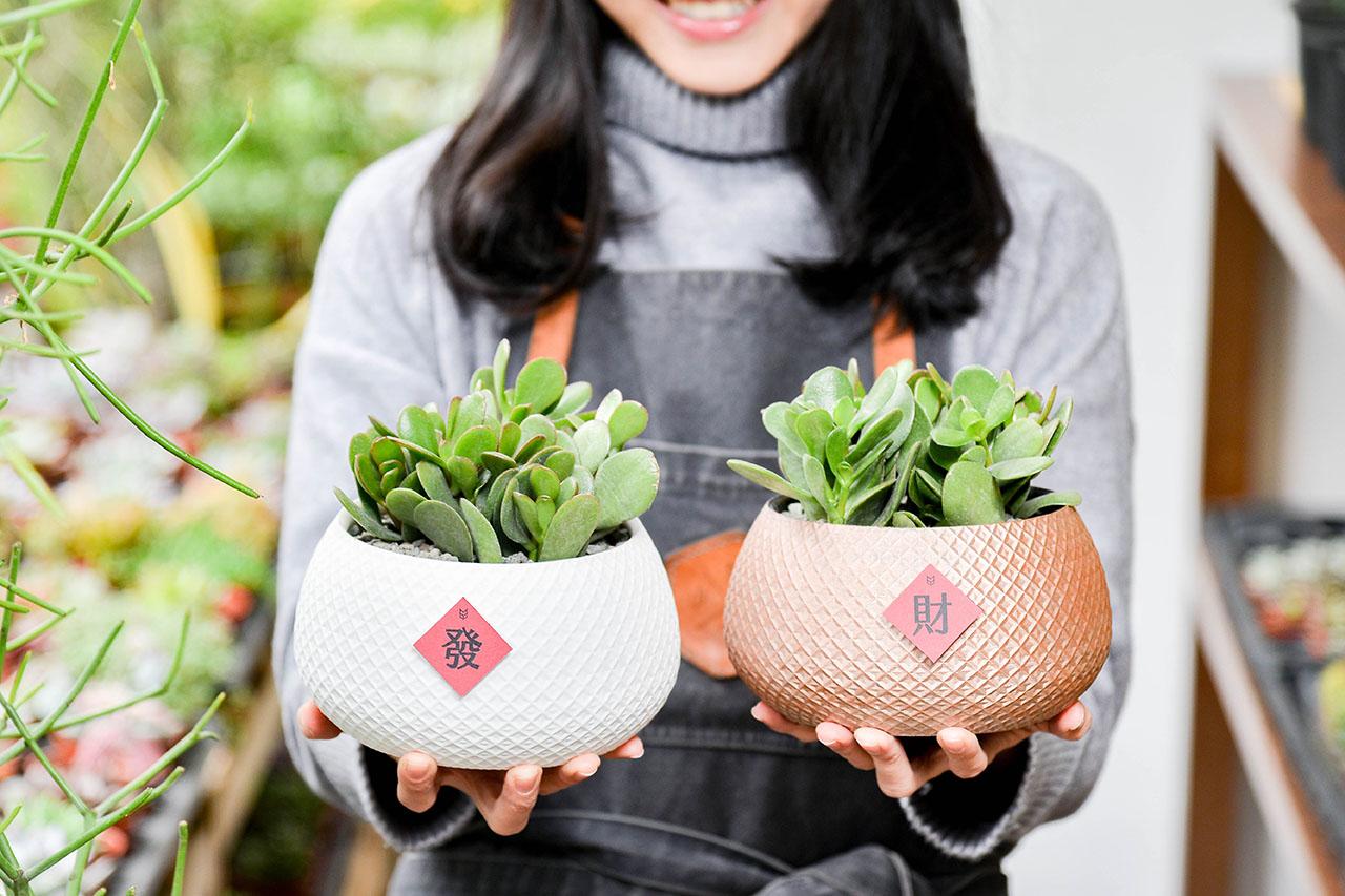 發財樹也稱花月,是一種很常見的多肉植物,土乾再澆水,好照顧是它的特性,飽滿的綠意適合新居落成送禮
