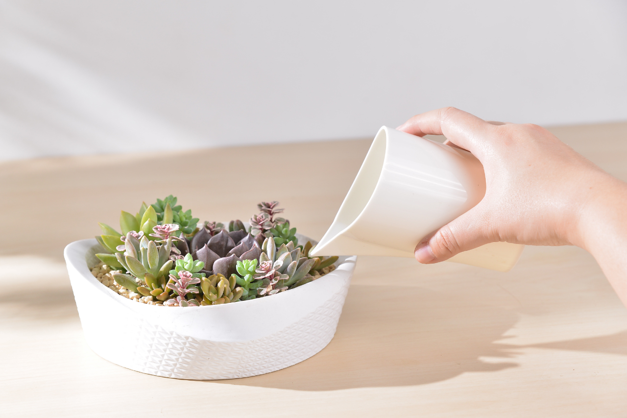 多肉植物澆水及養護方式介紹,土乾才澆水