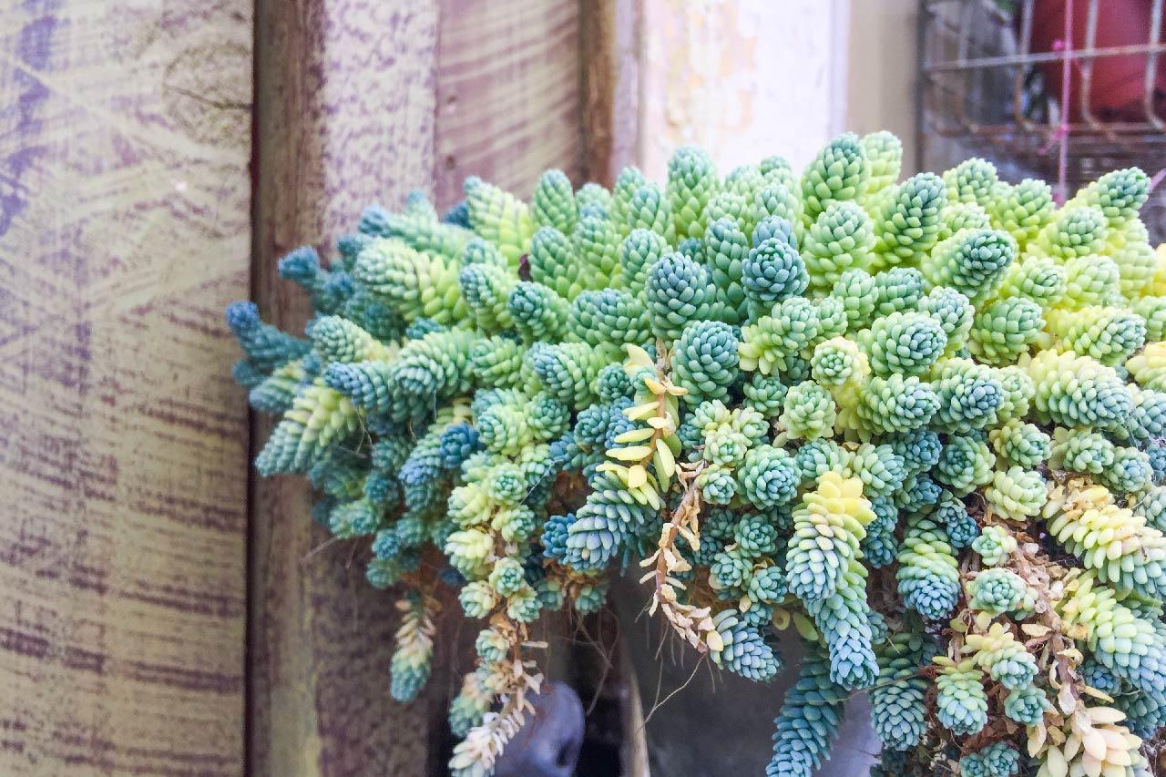 加州多肉植物