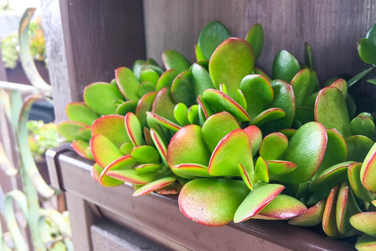 南加州的多肉植物發財樹