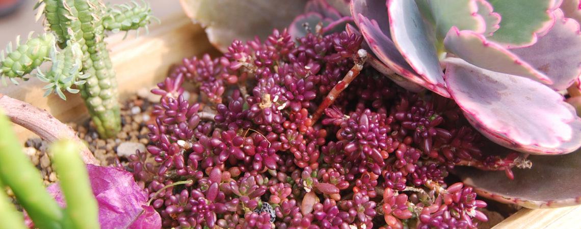 紫色的多肉植物?不能吃的紫米飯介紹 4