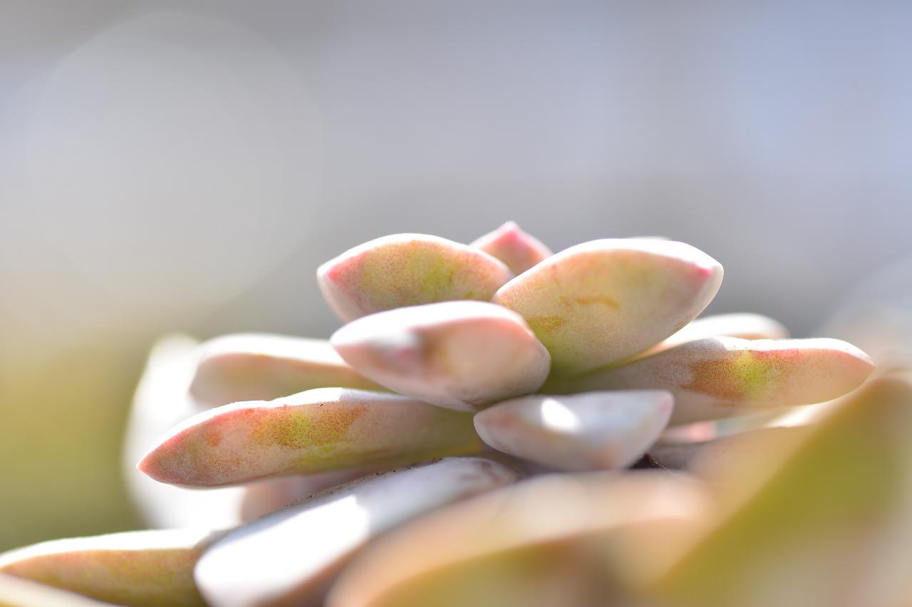 多肉植物厚葉的超五雄