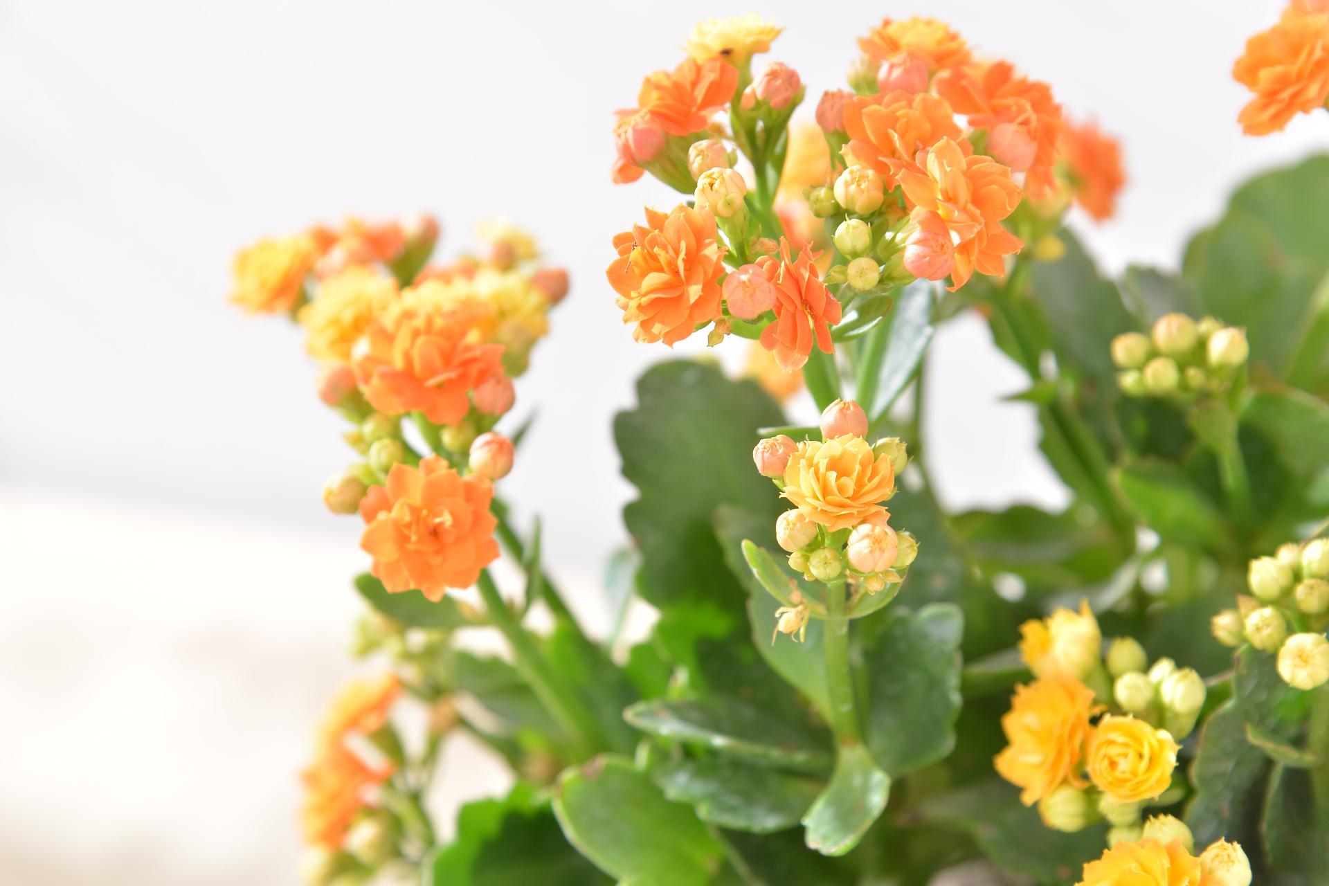 長壽花盆栽 - 好事成雙組 6