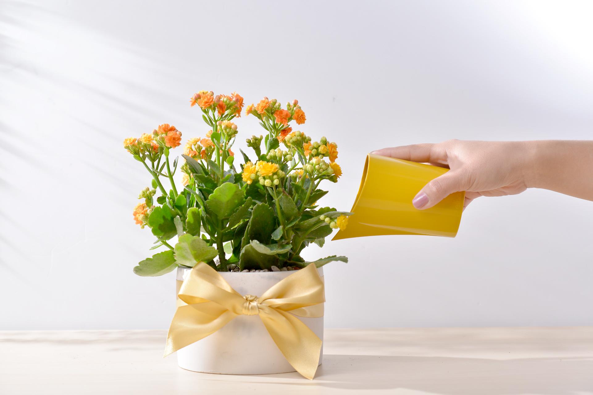 長壽花盆栽 - 大氣單盆組 7