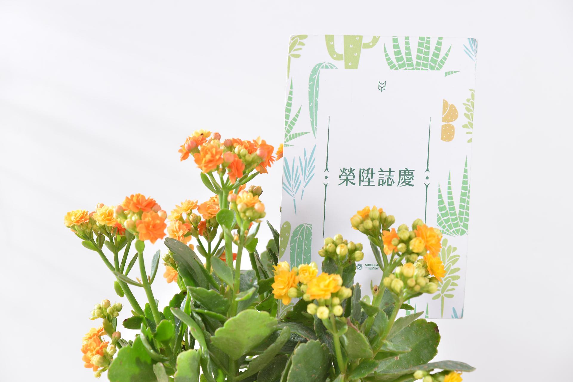 長壽花富含吉祥長壽的寓意,是台灣人佳節、年節送禮的熱門選擇,如果不打算送太過鋪張的花籃,一盆精緻的長壽花盆栽往往是最好的選擇