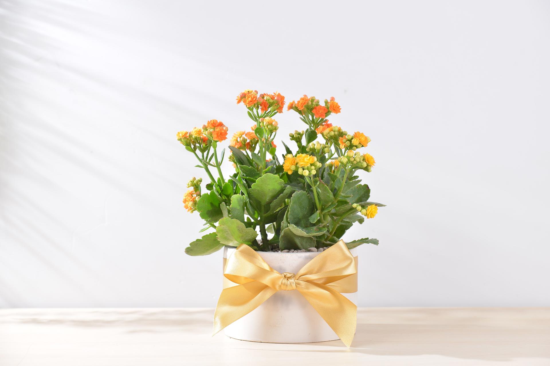 長壽花盆栽 - 大氣單盆組 2