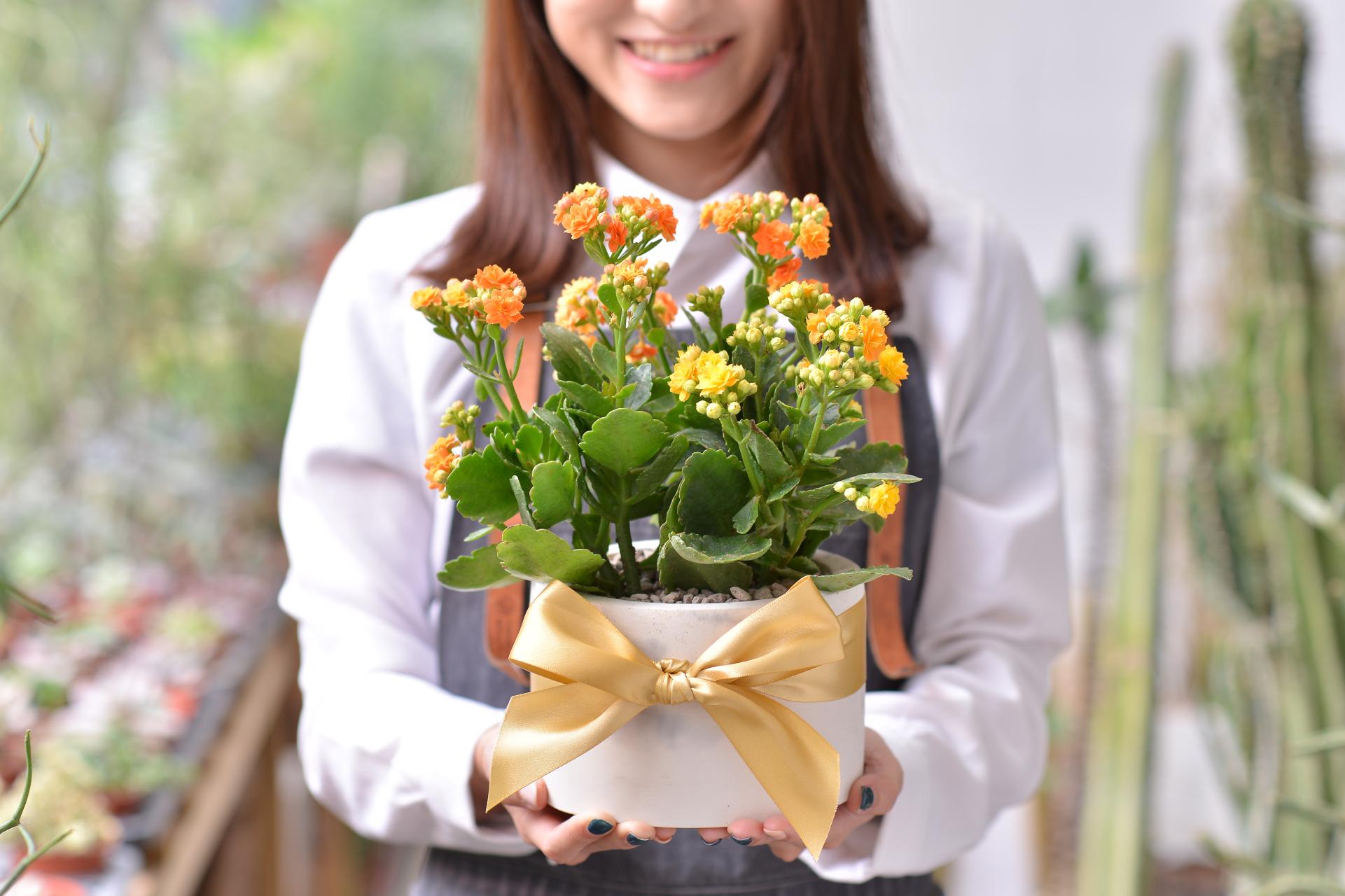 長壽花盆栽 - 大氣單盆組 3