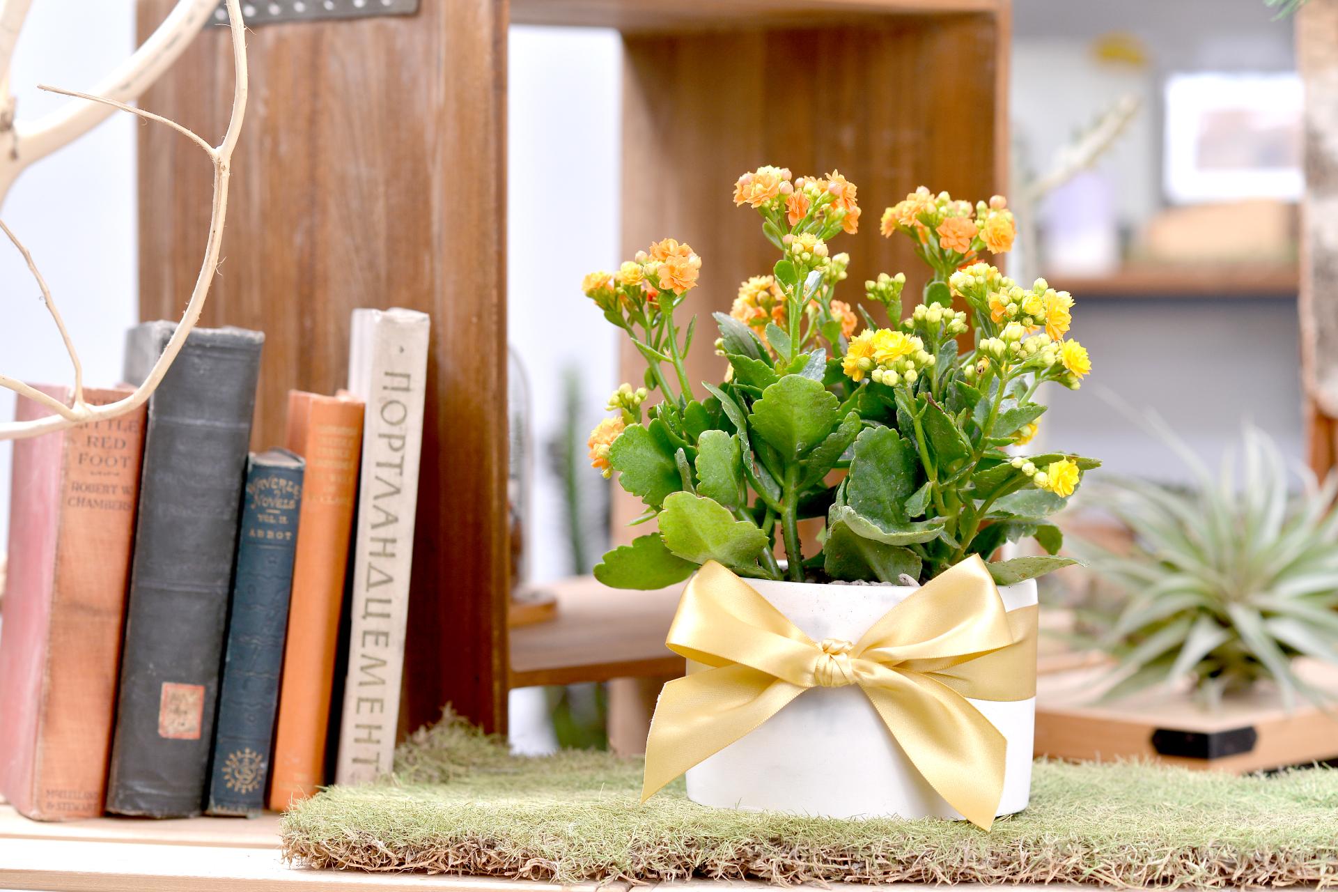 長壽花盆栽 - 大氣單盆組 11