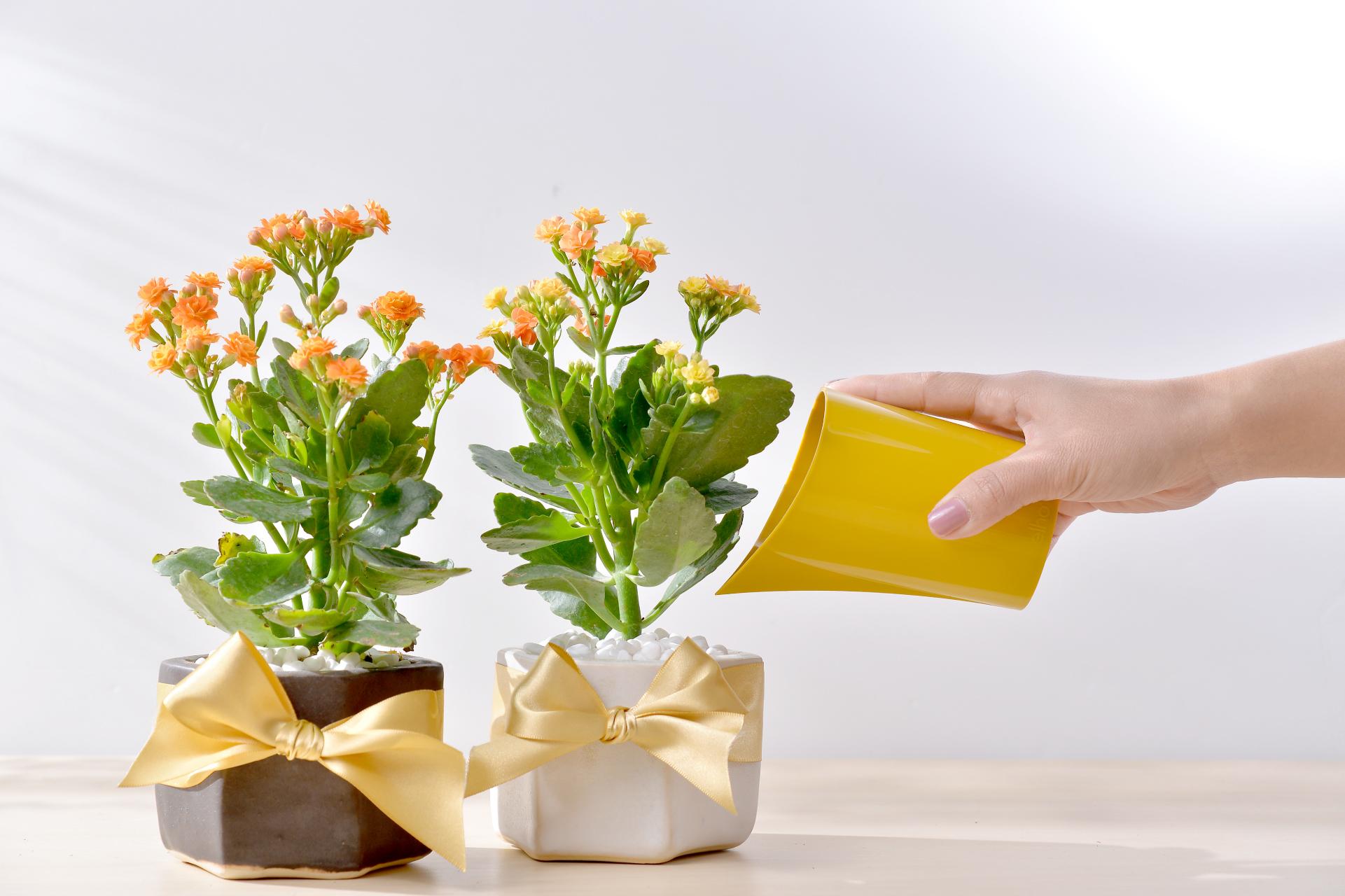 長壽花盆栽 - 好事成雙組 8
