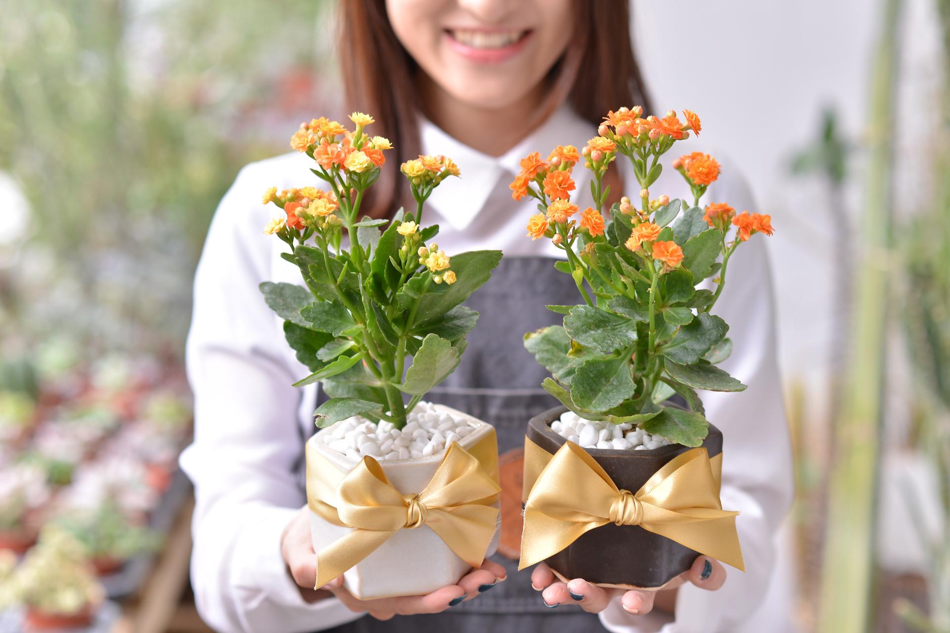 長壽花盆栽 - 好事成雙組 3