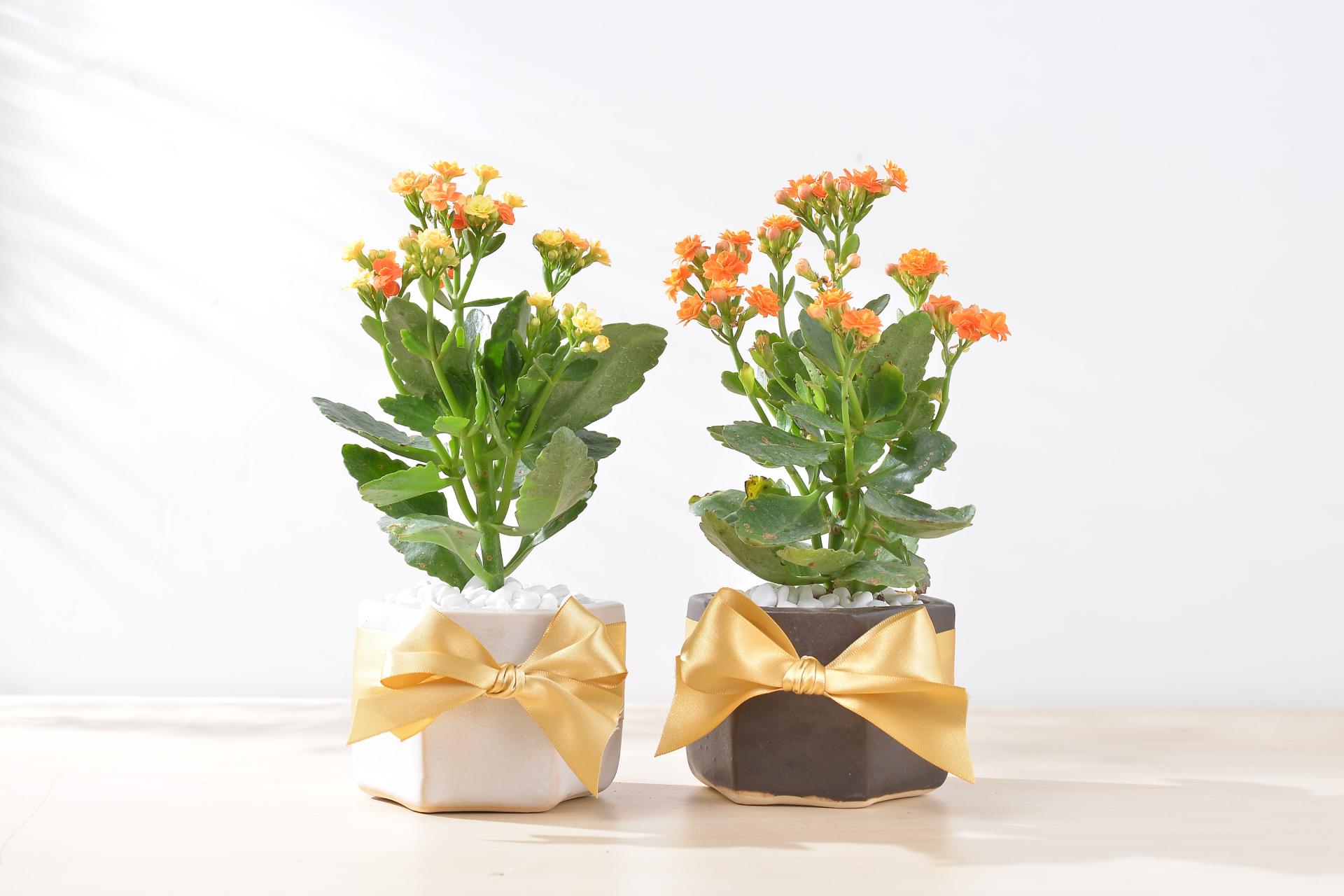 長壽花盆栽 - 好事成雙組 2
